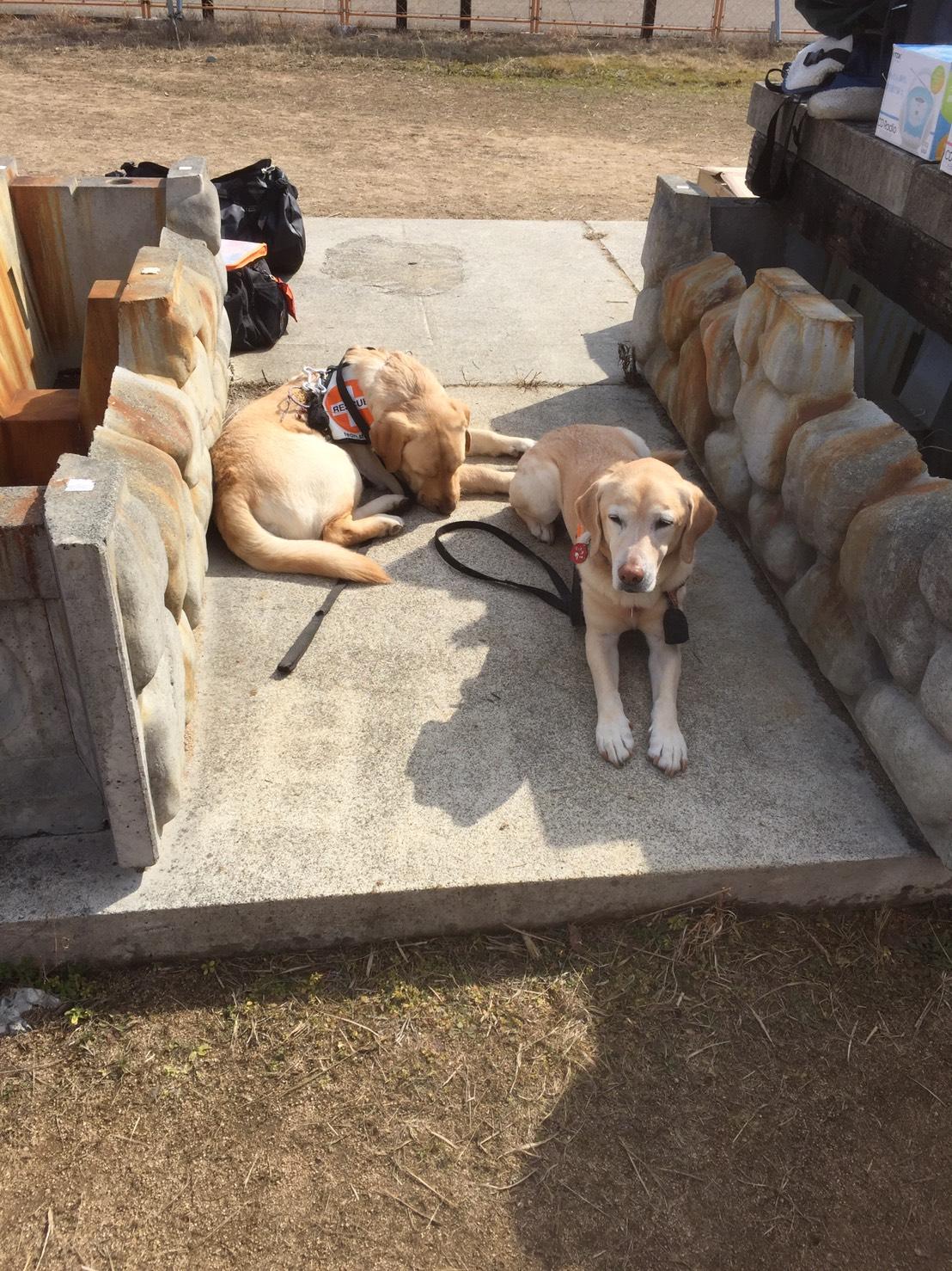 阪神救助犬協会 捜索災害救助犬育成・派遣・訓練活動