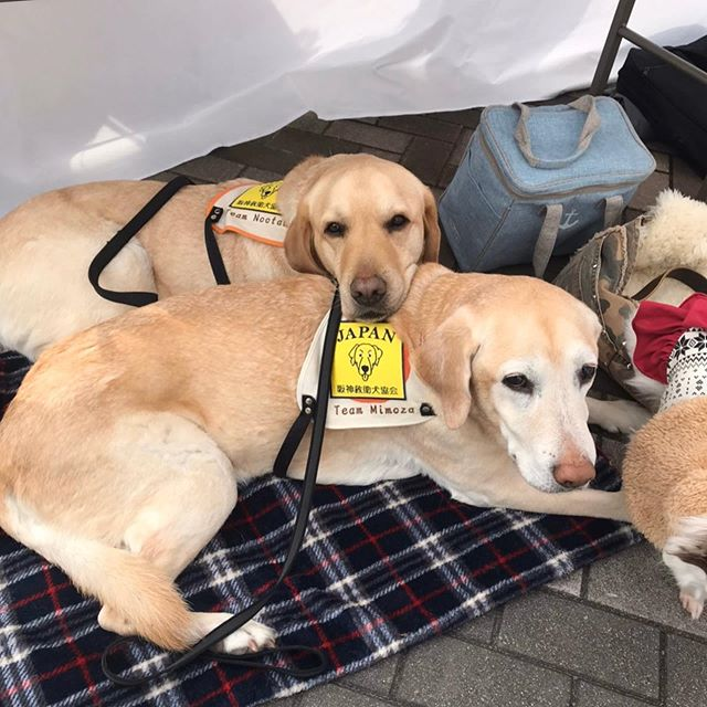 1.17イオン茨木において、防災イベントに参加しました。救助犬による捜索デモンストレーションやセラピー犬のふれあい活動を行いました。#セラピードッグ#救助犬#災害#阪神大震災#1.17#防災#防災対策