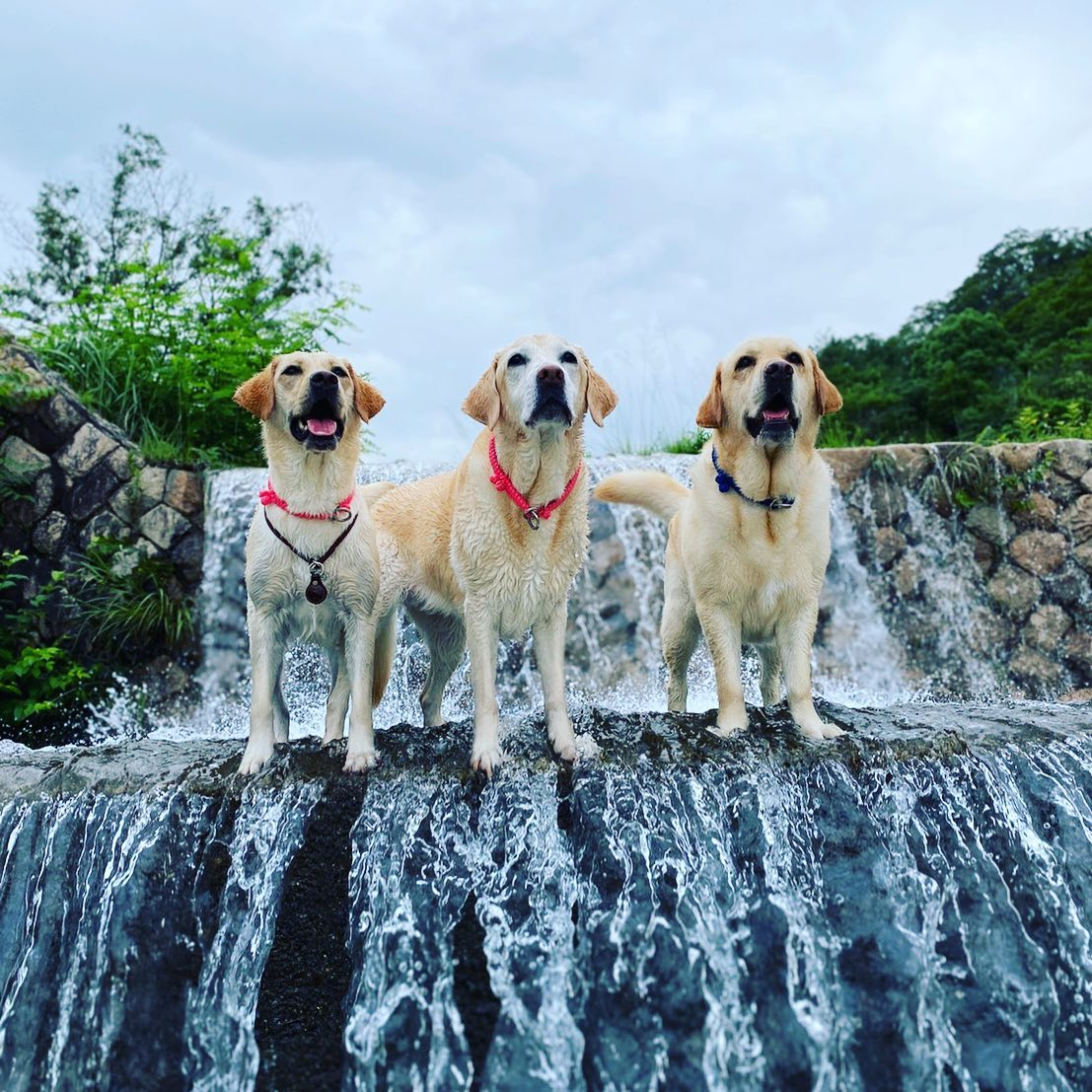 犬達は梅雨時の水流にも負けず元気です(^^)私達もコロナに屈することなく災害支援に役立てるよう、精力的に活動してまいります!#救助犬 #ラブラドールレトリバー  #ラブラドール  #ボランティア